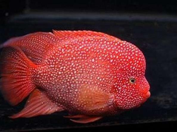 德萨斯罗汉鱼如何区分?